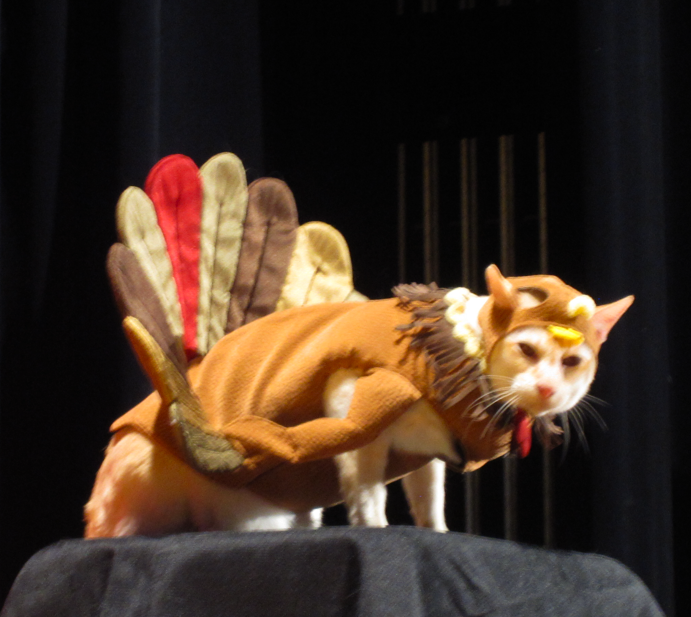 Cheddar the cat dressed in his turkey costume